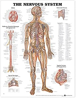 The Muscular System Giant Chart: 9781587799815: Medicine & Health ...