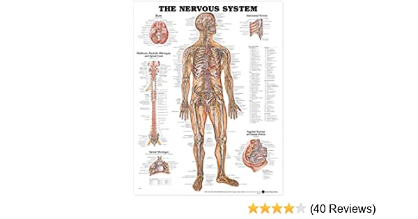 Skeletal And Nerve Diagram Car Wiring Diagrams Explained