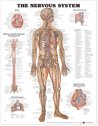 Amazon.com: The Nervous System Anatomical Chart: Anatomical Chart ...