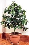 Azalea gardens Indoor Dwarf 10 PCS Shrub-Seeds-Coffee-Shrub-Of-Arabia-Coffea-arabica-Perennial-Room-Plant