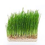 Wheatgrass Microgreen Seeds - 100% Non-GMO