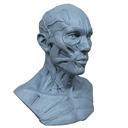 Amazon.com: Human Model Craft Anatomy Skull Head Muscle Bone Medical ...