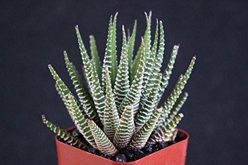 Jmbamboo -2'' Haworthia Attenuata, Zebra Zebrina Exotic Rare Succulent Cactus Plant Cacti Unique From Jmbamboo by JM BAMBOO