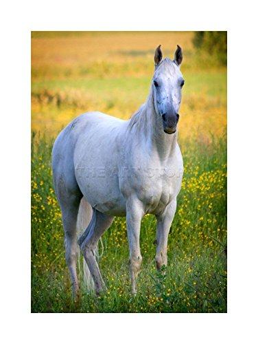 White Horse Stallion Buttercup Green Field Photo Art Framed Art Print F12x1921