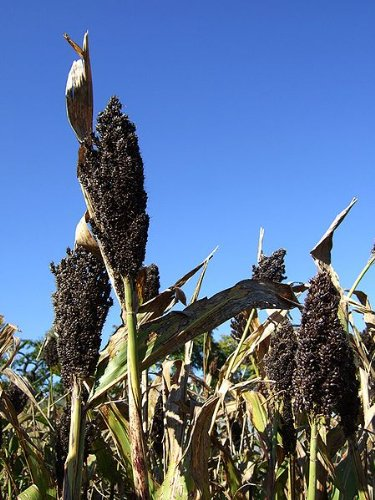 50 BLACK AMBER SORGHUM SUGAR CANE Saccharum Officinarum Grain Vegetable Seeds (Cane Usa Sugar)
