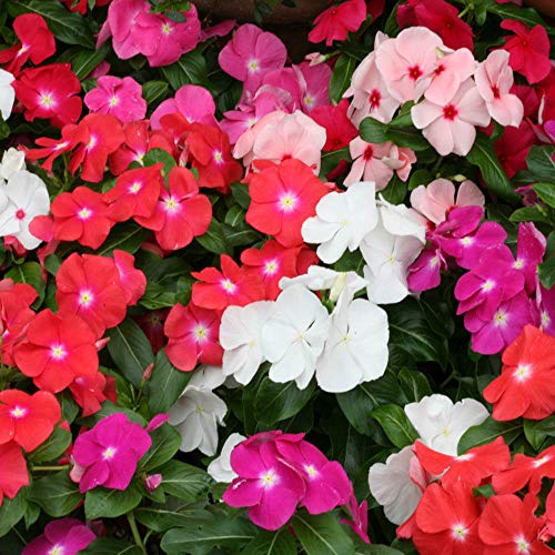 Outsidepride Cobra Vinca Flower Seed Mix - 50 Seeds