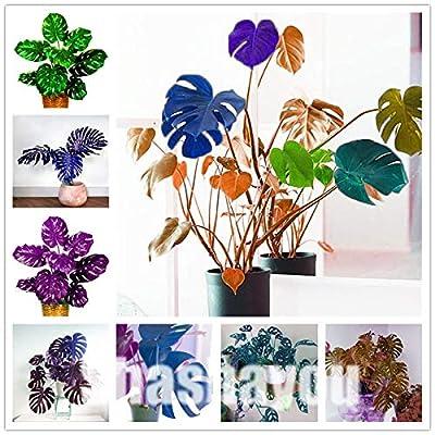 Kasuki 100 Pcs 2020 Rare Palm Turtle Leaves Monstera Potted Plant Plants Tree Plants Bonsai Mixed Home Perennial Foliage Plants Flores - (Color: 8) : Garden & Outdoor