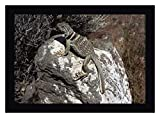 """This 12"""" x 16"""" framed canvas art print of Collared Lizard sunning itself on a rock, Mojave Desert, California by Larry Mindenis created on the finest quality artist-grade canvas, utilizing premier fade-resistant archival inks that ensure vibrant las..."""