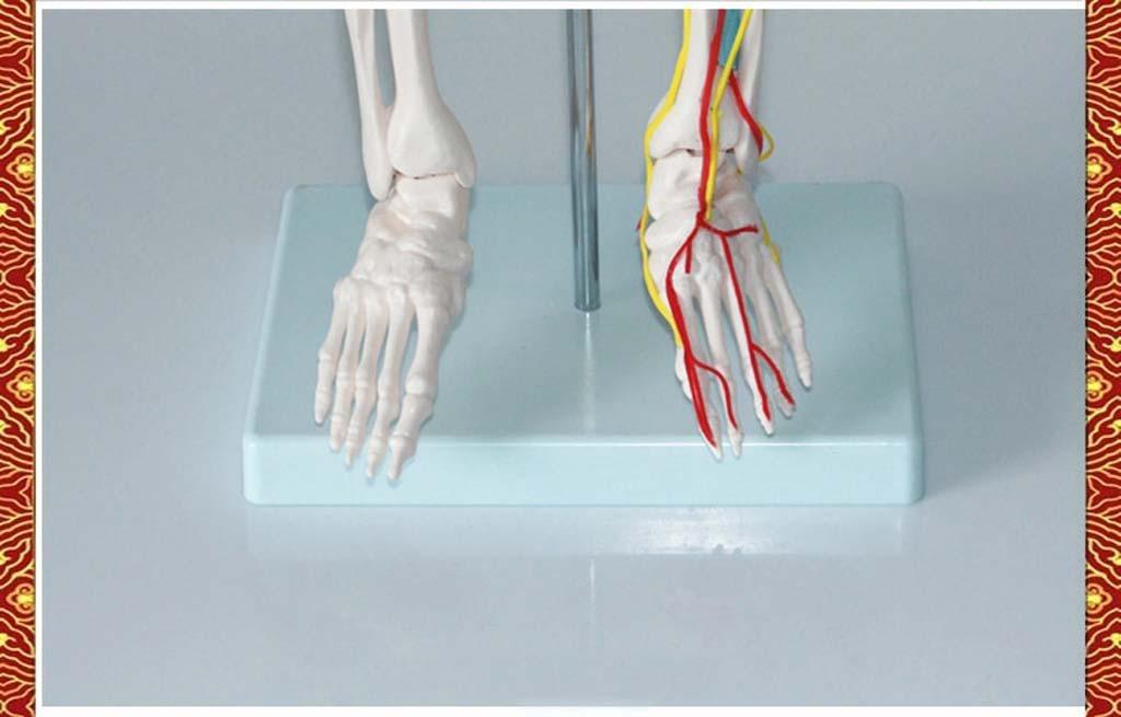 Medizinische Standard menschlichen Skelett Modell menschlichen ...