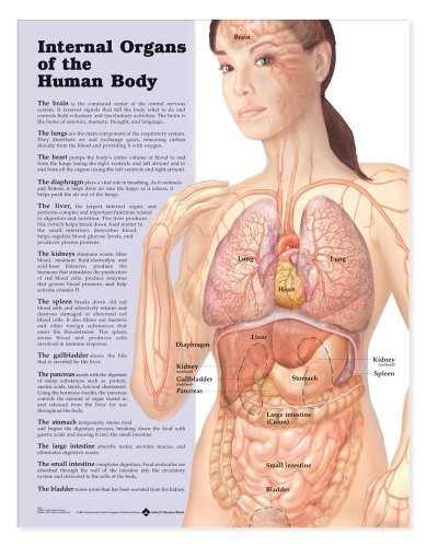 Internal Organs of the Human Body Anatomical (Human Body Anatomy Chart)