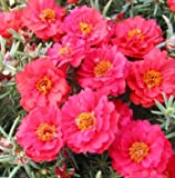 Portulaca (Purslane) Moss Roses Double-flowered Red Flower 1500 Seeds