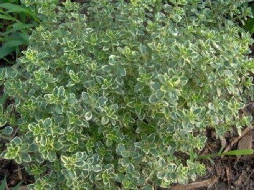 1000 LEMON THYME Thymus Citriodorus Herb Flower Seeds
