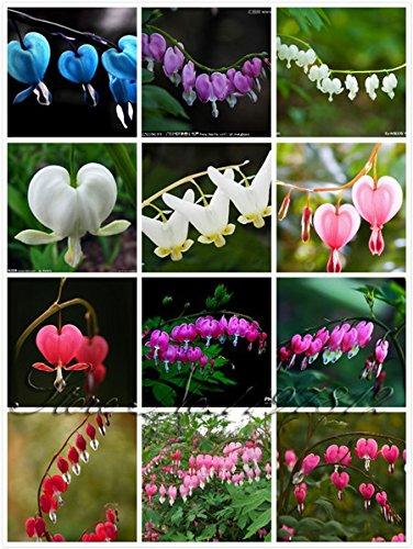 100 Pcs  Bag 20 Color Dicentra Spectabilis Seeds Bleeding Heart Classic Cottage Garden Plant  Heart Shaped Flower  Ferny Foliage
