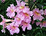 Live Plant Pink Trumpet Vine + Free Gift Cutting! Podranea Ricasoliana - Starter Plant