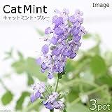 charm(チャーム) (観葉植物)ハーブ苗 ミント キャットミント ブルー 3号(3ポットセット)