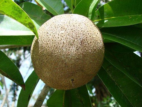 - 20 Giant Sapodilla Seeds *Rare* *Exotic* *Organic* Manilkara Huberi, Nispero, Sapotilla, Zapote, Sapote, Sapota, Chico Sapote, Chiku, Chicle Sapodilla