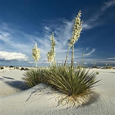 Yucca Soaptree Seeds (Yucca elata) 20+Seeds : Garden & Outdoor