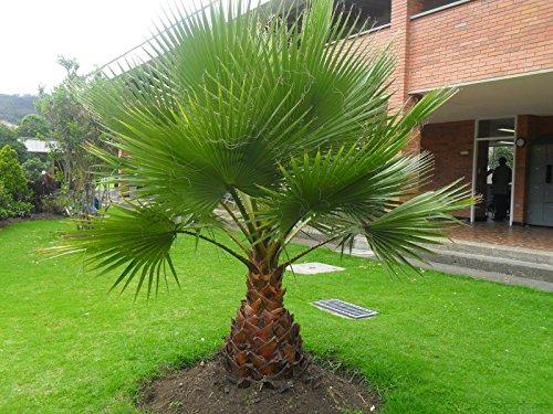 Washingtonia robusta Zimmerpalme Büropalme 190-200 cm. Eine der schnellwachsendsten Palmen der Welt