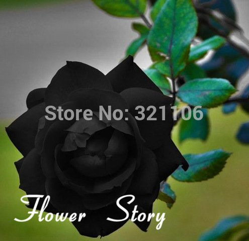 Plant Amp (Free Shipping, 200 Black Rose Seeds--Long Stem, rare color, DIY Home Garden Potted ,Balcony & Yard Flower Plant)