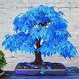 Go Garden 2016 100% Real Japanese Ghost Blue Maple Tree Bonsai Bonsai, 20 Bonsai/Pack, Acer Palmatum Atropurpureum, Bonsai Sow All Year: Red