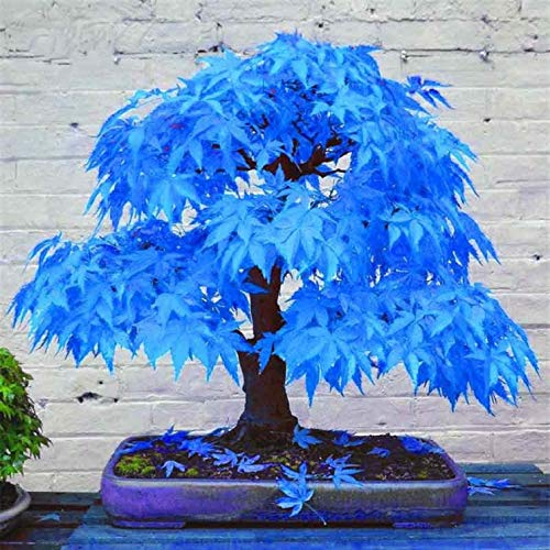 Go Garden 2016 100% Real Japanese Ghost Blue Maple Tree Bonsai Bonsai, 20 Bonsai/Pack, Acer Palmatum Atropurpureum, Bonsai Sow All Year: - Bonsai Blue