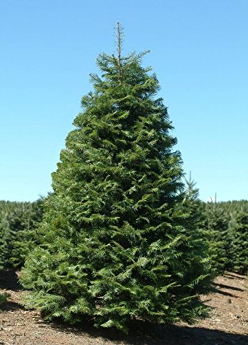 Tree Seeds Abies Grandis Grand Fir Trees - 1,000 Seeds