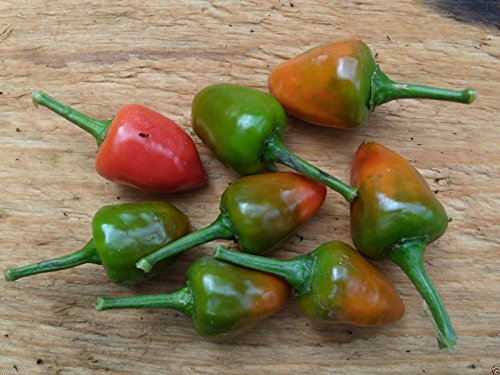Dundicut Chili Peppers Seeds - Popular in Pakistani & Indian cooking~Very Rare(30 - Pakistani Models Images