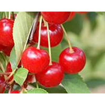AchmadAnam - Live Plant - Cherry Montmorency Orchard Fruit Tree Standard 2-4 ft : Garden & Outdoor