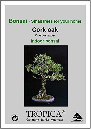 TROPICA - Chêne-liège (Quercus suber) - 4 graines- Bonsai