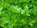 Parsley Italian Non GMO Heirloom Leafy Garden Herb 100 Seeds by Sow No GMO