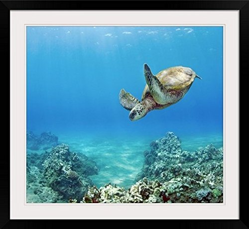 GreatBIGCanvas ''Hawaii, Green Sea Turtle (Chelonia Mydas) An Endangered Species'' by M Swiet Productions Photographic Print with Black Frame, 30'' x 27'' by greatBIGcanvas