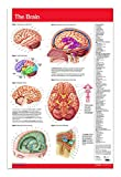 Brain Chart Wall Poster - 24'' x 36'' Laminated Brain Poster - Human Brain - Medical Quick Reference Guide by Permacharts