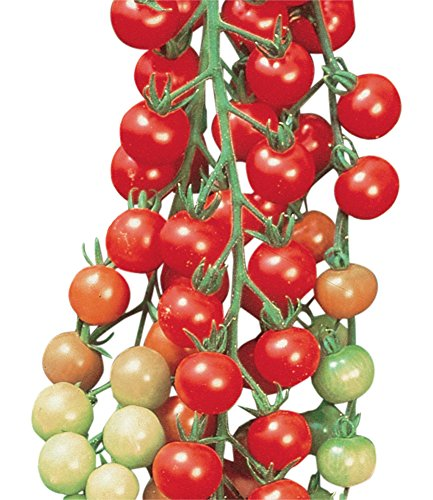 Burpee Super Sweet 100 Tomato Seeds 50 seeds