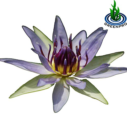 (Nymphaea Colorata) Hardy Water Lily Tuber Live Water Plants for Pond Balcony Porch Decorations by Greenpro