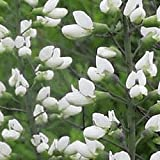 Everwilde Farms - 150 White Wild Indigo Native Wildflower Seeds - Gold Vault Jumbo Seed Packet offers