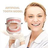 FishMM Standard Teeth Teaching Model, Kids Denture Model for Explain,Studying
