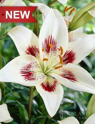 (White Pixels Asiatic Lily )