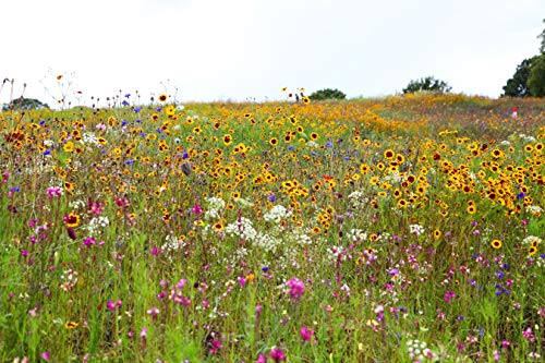 Sweet Yards Seed Co. Drought Tolerant Wildflowers Mix - Extra Large Packet - Over 7,500 Open Pollinated Non-GMO Seeds - 21 Different Dryland Species!