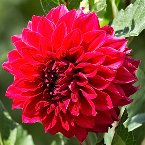 Barbarossa Ship - Red Dinnerplate Dahlia Barbarossa (3 Large Bulbs) Huge Blooms | Ships from Easy to Grow TM