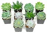 Succulent Plants | 18 Echeveria Succulents | Rooted