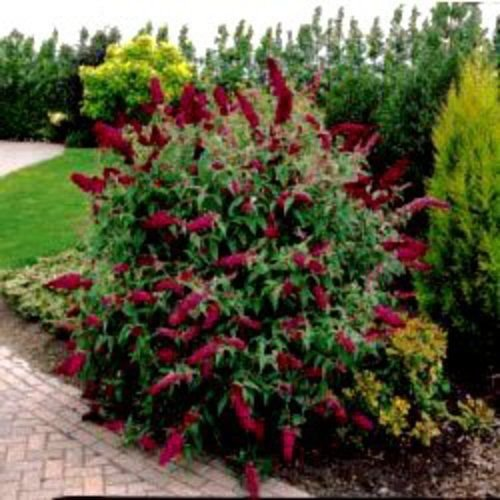 Royal Red Butterfly Bush! 50 Seeds! Fast & Easy to grow!
