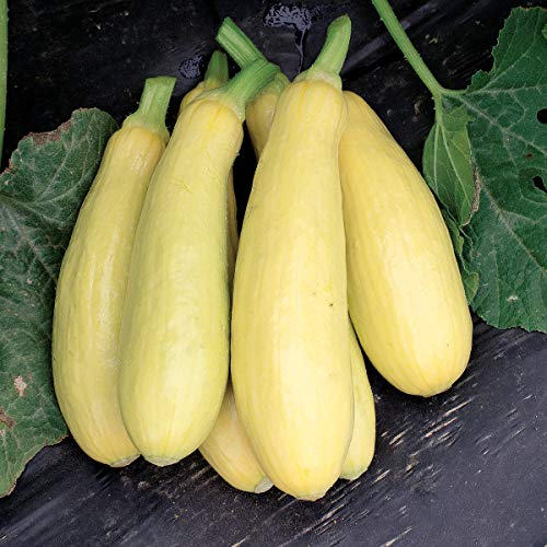David's Garden Seeds Squash Summer Early Prolific Straightneck SL1149SV (Yellow) 50 Non-GMO, Heirloom Seeds