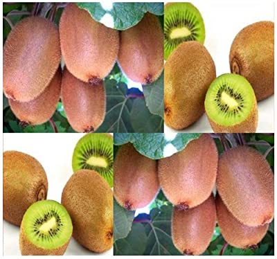 4 Packs x 50 Kiwi Fruit Seeds - Chinese Gooseberry - Actinidia chinensis - Vining & Heat Tolerant Plant With Fragrant Flowers and Edible Fruits - FULL SUN or Partial Shade - Zones 7+ - By MySeeds.Co