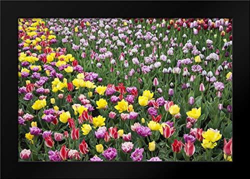 USA, Washington Field of Blooming Tulips Framed Art Print by Shimlock, Jones