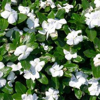 - Outsidepride White Vinca Periwinkle Ground Cover Plant Seed - 2000 Seeds