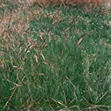 The Dirty Gardener Blue Grama Native Ornamental Grass - 5 Pounds