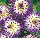 Vertible Cactus Dahlia Tuber, Root Start, Bulb, SeedsBulbsPlants&More