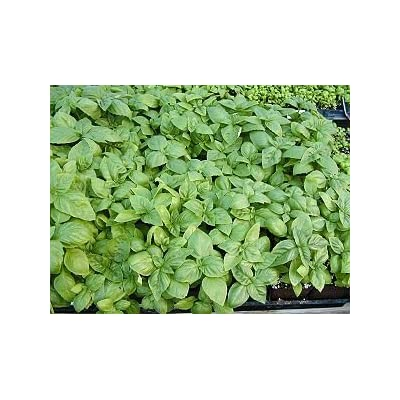 1000 ITALIAN LARGE LEAF BASIL Ocimum Basilicum HERB Flower Seeds : Herb Plants : Garden & Outdoor