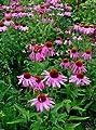 "-Bulk- CONEFLOWER -Purple- ""Echinacea purpurea"" 500+Perennial seeds"