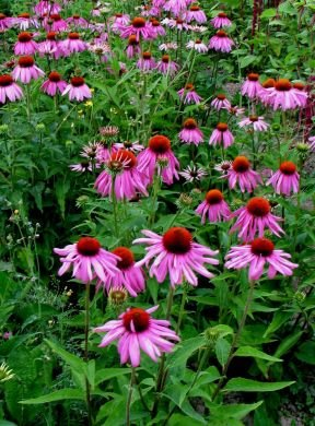 "-Bulk- CONEFLOWER -Purple- ""Echinacea purpurea"" 500+Perennial seeds"